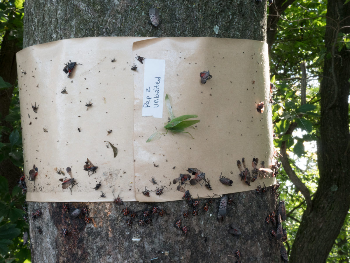 Spotted Lanternfly traps - tree banding