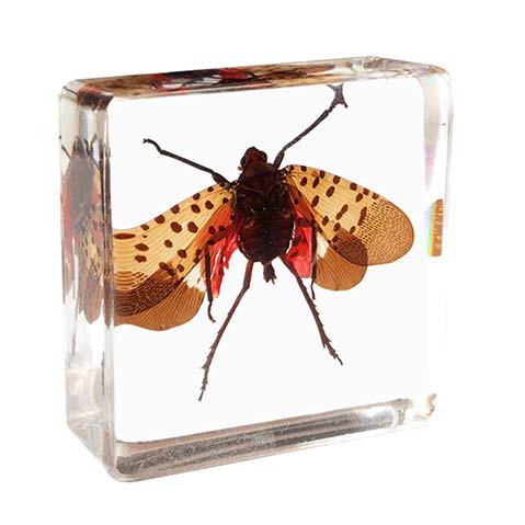 Spotted Lanternfly in Resin Block